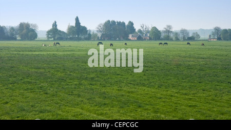 Dutch polder landscape with farm and horses in the early morning - Stock Photo