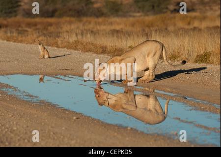 Lion Lioness water dawn fields - Stock Photo