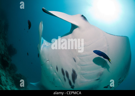 Manta at Cleaning Station, Manta birostris, Hanifaru Bay, Baa Atoll, Maldives - Stock Photo
