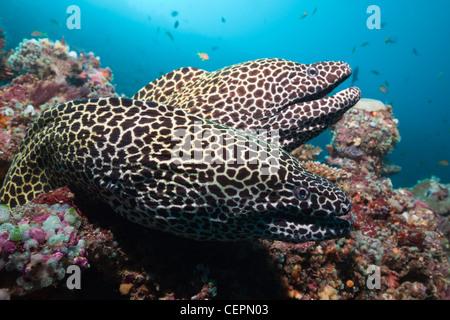 Pair of Honeycomb Moray, Gymnothorax favagineus, North Male Atoll, Maldives - Stock Photo