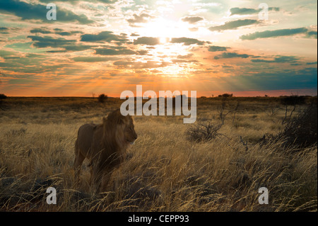 Male lion at sunset - Stock Photo