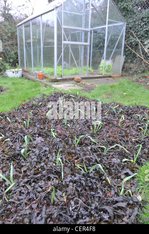 Autumn sown Garlic with a mulch of seaweed - Stock Photo