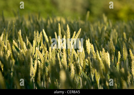 Close up of ears of wheat growing in a field near Stansted. - Stock Photo