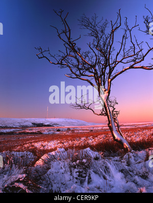 A solitary hawthorn on Turton Moor with Winter Hill and its television mast in the background. Turton Mor lies in - Stock Photo