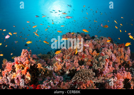 Anthias over Soft Corals, North Male Atoll, Indian Ocean, Maldives - Stock Photo
