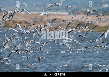 Mixed flock of gulls and terns taking flight at Rye Harbour Nature reserve, Sussex UK - Stock Photo