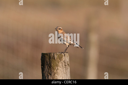 Wheatear Oenanthe oenanthe perched on fence post in evening sun at Rye Harbour nature reserve Sussex UK - Stock Photo