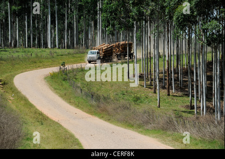 URUGUAY Rivera , FSC eucalyptus grande forest of company Urufor for timber , wood fibre is used for pulp and biomass - Stock Photo
