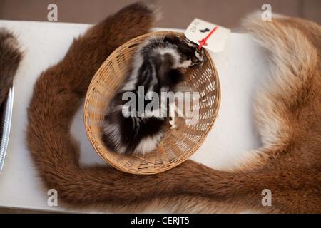 animal pelts displayed in elementary school classroom - Stock Photo