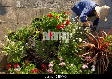 woman (model released) tending flower pots in a garden, Dorset, England, UK - Stock Photo