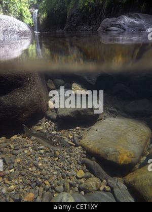 Jungle perch (Kuhlia rupestris) in pool below Wainibau Falls, Lavena Coastal Walk, Bouma Natural Heritage Park, - Stock Photo