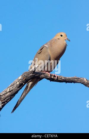 Mourning Dove Zenaida macoura Tucson, Arizona, United States 1 June Adult vocalizing. Columbidae - Stock Photo