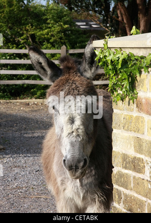 A wild donkey in the New Forest. - Stock Photo