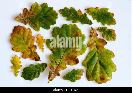 oak leaves arranged on a white background - Stock Photo