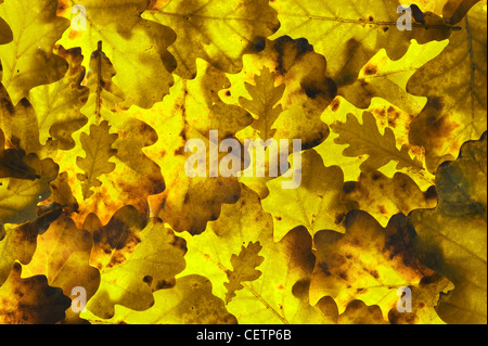autumnal oak leaves - Stock Photo