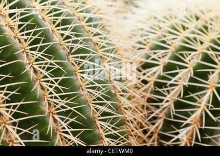 Ferocactus Glaucescens, Jardin de Cactus - Stock Photo