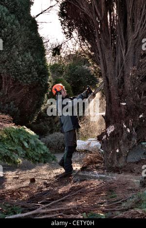 Tree surgeon working on garden conifer tree - Stock Photo