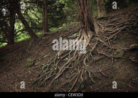 Exposed tree roots, Yorkshire, UK - Stock Photo