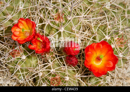 claret cup or Mojave mound cactus in bloom, Mojave National Preserve, California
