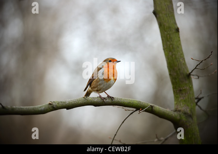 European Robin Redbreast (erithacus rubecula melophilus) perched on a branch - Stock Photo