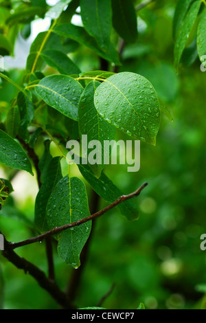 Raindrops on the green leaves of a forest - Stock Photo