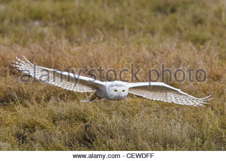 A snowy owl (Bubo scandiacus, formerly Nyctea scandiaca) flies low over the coastline in southern British Columbia, - Stock Photo