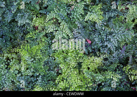 Evergreen Maidenhair fern (Adiantum venustum) or Himalayan Maidenhair Fern. - Stock Photo