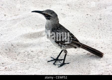 Mockingbird in Galapagos Islands