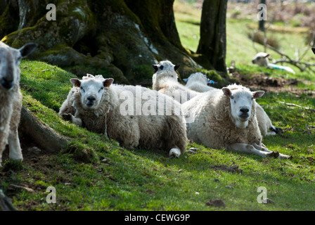 Sheep laying down in a shady spot - Stock Photo