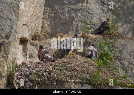 Wanderfalke, Falco peregrinus, peregrine falcon - Stock Photo