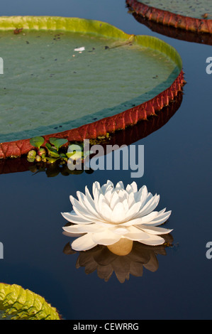 Giant Water Lilies (Victoria amazonica). Lake near Cuiaba River, Northern Pantanal, Brazil. - Stock Photo