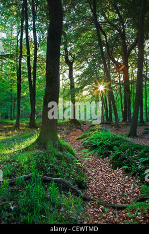 Dean Forest woodland. Nestling between the Wye Valley, the Vale of Leadon and the Severn Vale, the Royal Forest - Stock Photo