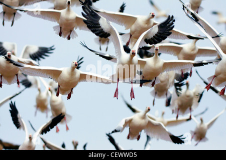 Snow geese flying up, Bosque del Apache, New Mexico USA - Stock Photo