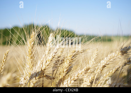 Sunny and beautiful day in the wheat fields with light and warm wind blowing and moving the crops. - Stock Photo