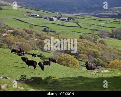 Welsh black mountain sheep grazing on farmland in the hills above the Mawddach Estuary. - Stock Photo