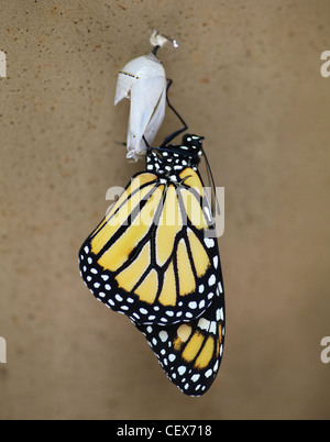 A Monarch Butterfly (Danaus plexippus) emerging or eclosing from a chrysalis - Stock Photo