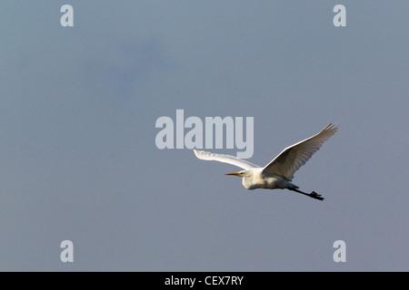 Great white egret (Egretta alba), Ham Wall, Somerset Levels, Somerset, UK, winter. - Stock Photo