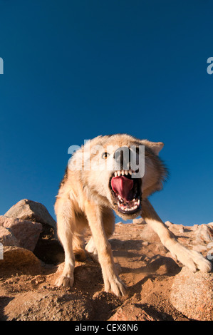 wild snarling wolf (canis lupis) in the Altai Region of Bayan-Ölgii in Western Mongolia - Stock Photo