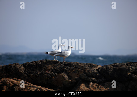 Pair of Herring Gulls on rocks by the sea - Stock Photo