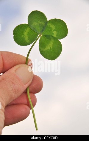 A person holds a lucky four leaved / leaf clover. - Stock Photo
