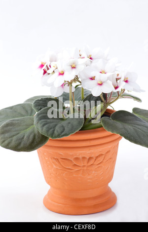 African violet in a terracotta pot on white background - Stock Photo
