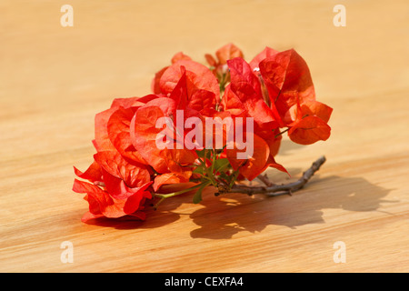 Close-up of red bougainvillea on wooden background - Stock Photo