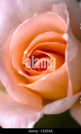 close up of a pink rose; berkeley, california, united states of america - Stock Photo
