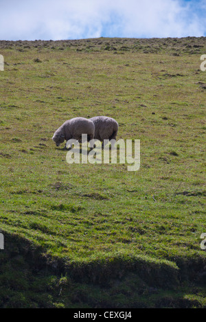 Two sheep grazing in the high Andes on the Quilotoa Loop, Ecuador. - Stock Photo