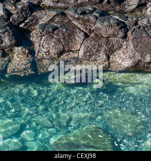 sea lion swimming in a lagoon; galapagos, equador - Stock Photo