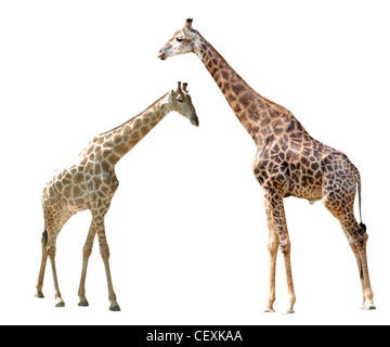 two giraffes isolated in white background. - Stock Photo