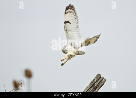 Short eared Owl Asio flammeus taking off from gate post during winter - Stock Photo