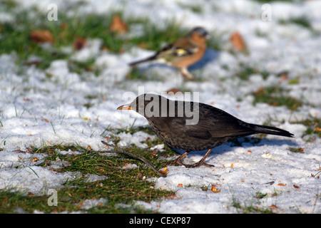 Wild birds feeding on the snow covered ground in winter Derbyshire England - Stock Photo