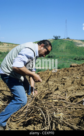 ITALY Calabria , Rossano , harvest of liquorice roots from plant liquorice Glycyrrhiza glabra for liquorice confectionery - Stock Photo