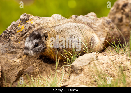 Baby Yellow-Bellied Marmot - Stock Photo